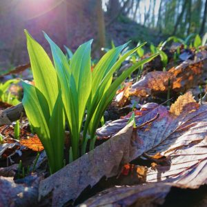 Morghew Wild Garlic 2020