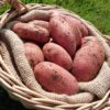 Cherie Red potatoes