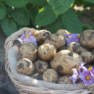 New Season Maris Peer Potatoes