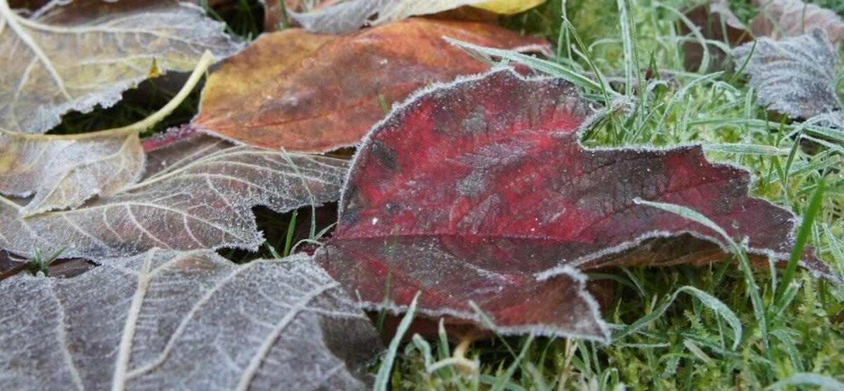 Frosty Leaf 2020 The Potato Shop