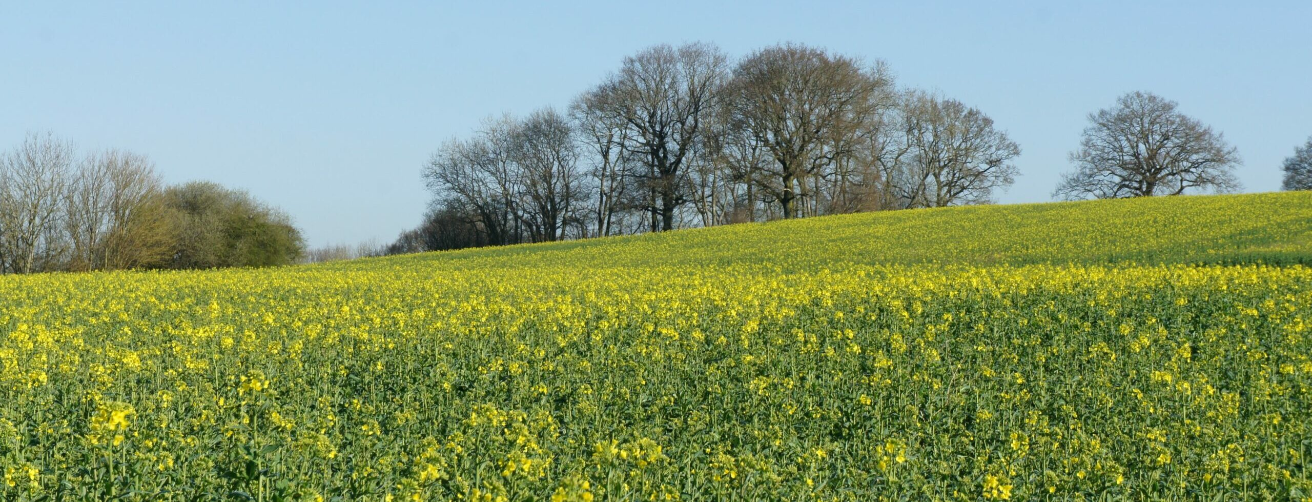 Looking NW across Rupert's Field planted with ripening oilseed rape on Morghew Park Estate, 09:08 30.03.21