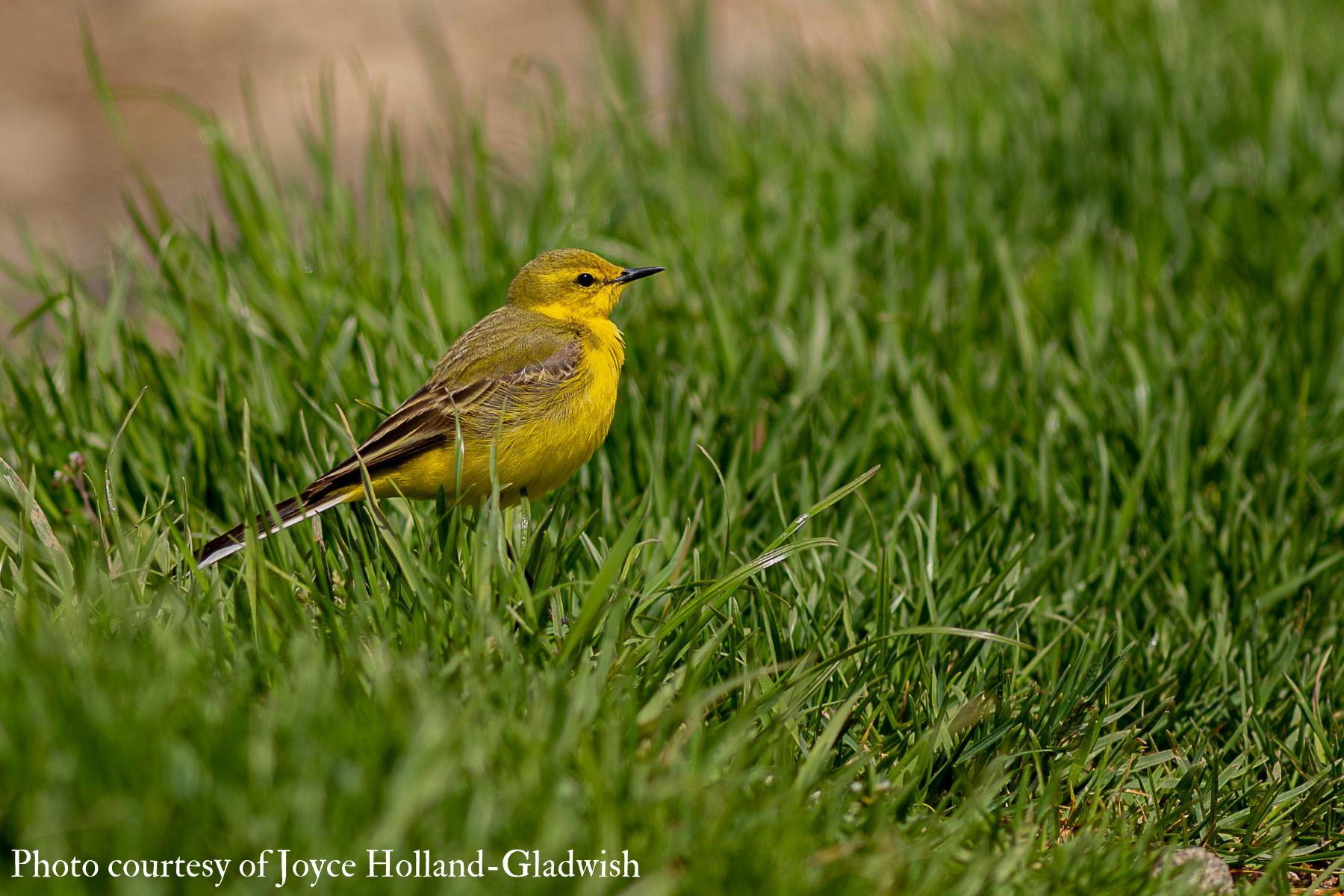 Yellow Wagtail (Motacilla flava) 2021 Joyce Holland-Gladwish
