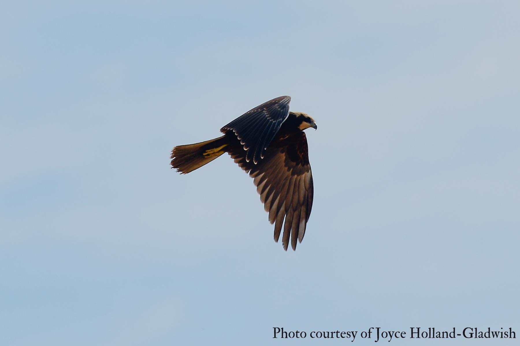 Female Marsh Harrier (Circus aeruginosus) 2021 Joyce Holland-Gladwish